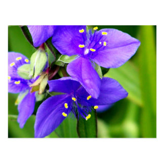 Purple Spider Flowers Postcard