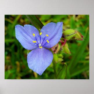 Purple Spiderwort Flower Posters