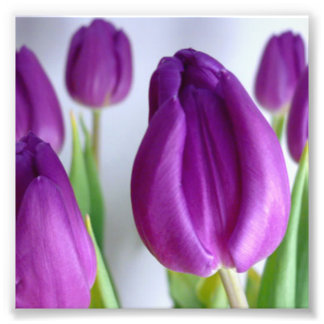 Purple Tulip Photo