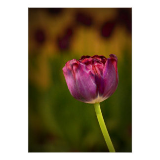 Purple Tulips, a focal piece for your wall Poster