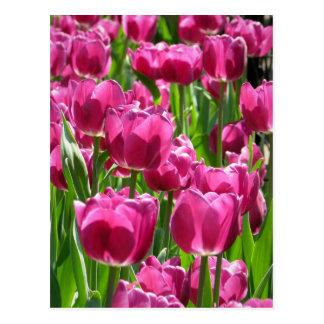 Purple Tulips Postcard