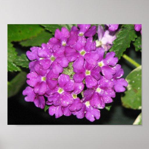 Purple Verbena Poster