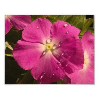 Purple Vinca with Raindrops photo print
