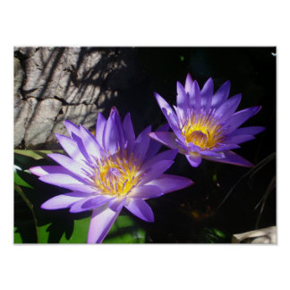 Purple Water Lilies Poster
