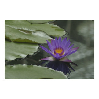 Purple Water Lily Posters