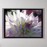 Purple-White Dahlia Flower Poster