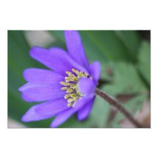 Purple Windflower Photograph