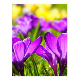 Purple & Yellow Crocus flowers Postcard