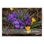 Purple & Yellow Crocuses DSC5930