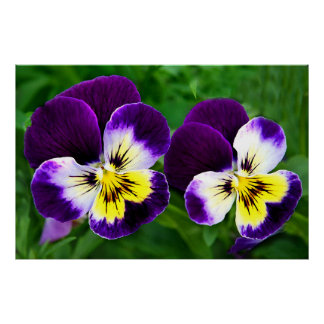 purple & yellow pansies poster