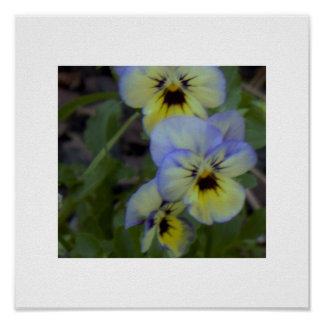 Purple Yellow Pansy Photo Poster