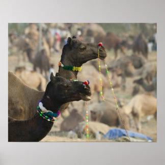 Pushkar Camel Fair, Pushkar, Rajasthan, India Poster