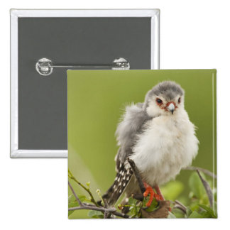 Pygmy Falcon preening itself in a tree 15 Cm Square Badge