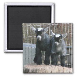 Pygmy Goat Babies Square Magnet