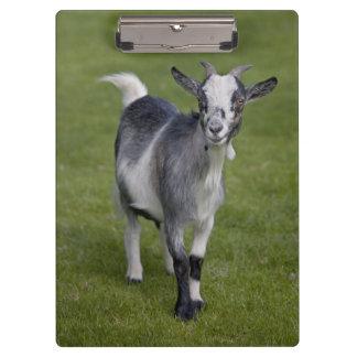 Pygmy Goat Clipboard