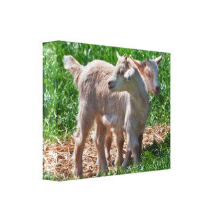Pygmy Goat Kids Wrapped Canvas Stretched Canvas Print