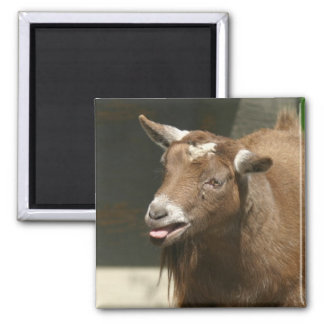 pygmy goat square magnet