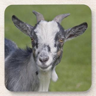 Pygmy Goat Set of 6 Coasters
