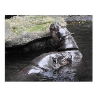Pygmy Hippo Postcard