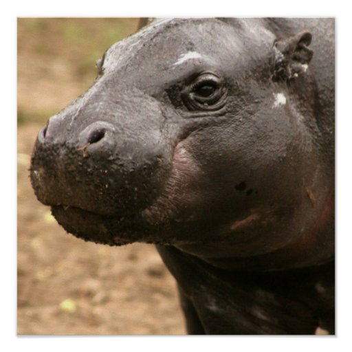 Pygmy Hippo Poster