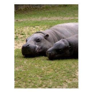 Pygmy hippos postcard