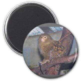 Pygmy Marmoset Portrait Magnet