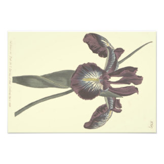 Pyrenean Flag Iris Illustration Photo Print