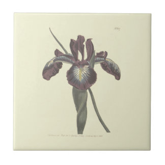 Pyrenean Flag Iris Illustration Small Square Tile