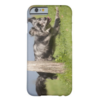 Pyrenean Shepherd goes round the pole Barely There iPhone 6 Case