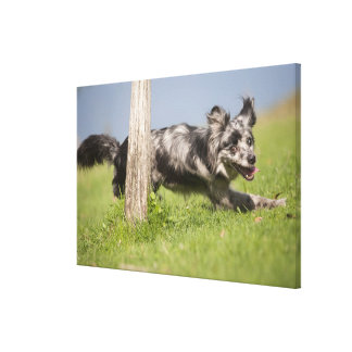 Pyrenean Shepherd goes round the pole Canvas Print