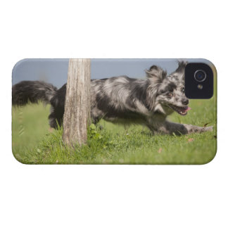 Pyrenean Shepherd goes round the pole iPhone 4 Cases