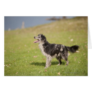Pyrenean shepherd in alert pose waiting for card