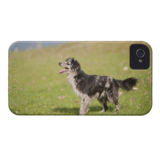 Pyrenean shepherd in alert pose waiting for iPhone 4 covers