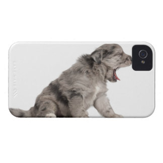 Pyrenean Shepherd puppy (4 weeks) yawning iPhone 4 Cover