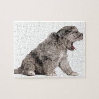 Pyrenean Shepherd puppy (4 weeks) yawning Jigsaw Puzzle