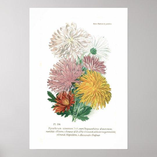 Pyrethrum sinense (Chrysanthemum) Poster