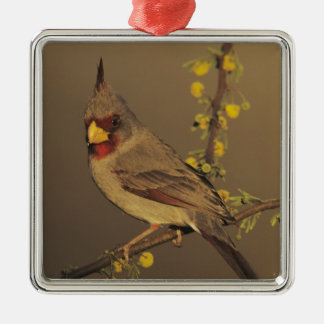 Pyrrhuloxia, Cardinalis sinuatus, male on Christmas Ornament