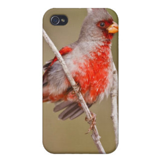 Pyrrhuloxia (Cardinalis sinuatus) male perched Case For The iPhone 4