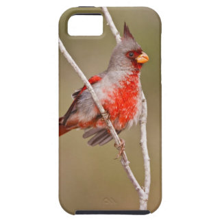 Pyrrhuloxia (Cardinalis sinuatus) male perched iPhone 5 Covers