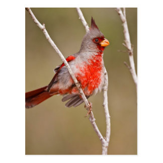 Pyrrhuloxia (Cardinalis sinuatus) male perched Postcard