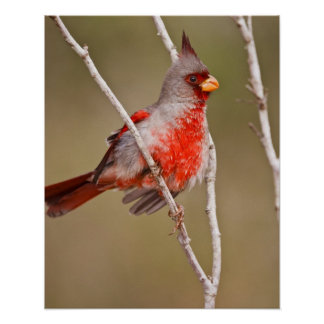 Pyrrhuloxia (Cardinalis sinuatus) male perched Posters