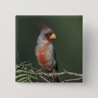 Pyrrhuloxia, Cardinalis sinuatus, male, Starr 15 Cm Square Badge