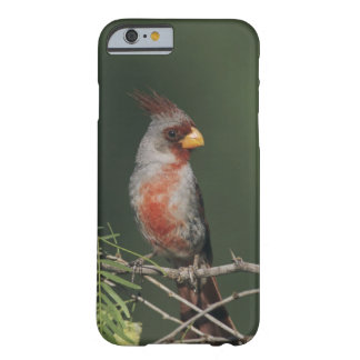 Pyrrhuloxia, Cardinalis sinuatus, male, Starr Barely There iPhone 6 Case