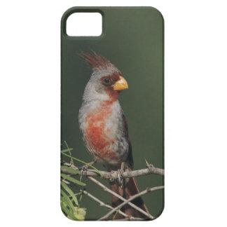 Pyrrhuloxia, Cardinalis sinuatus, male, Starr iPhone 5 Covers