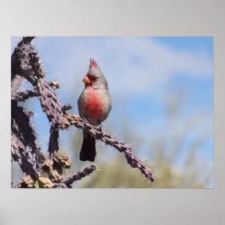 Pyrrhuloxia Desert Cardinal Poster