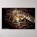 Python Bivittatus2 Posterdrucke