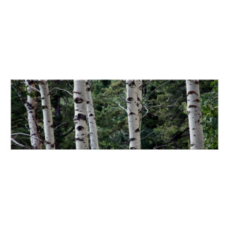 Quaking Aspen, Grand Teton National Park Poster