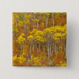 Quaking aspen grove in peak autumn color in 15 cm square badge