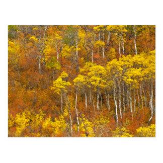 Quaking aspen grove in peak autumn color in 2 postcard