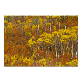 Quaking aspen grove in peak autumn color in 2 poster